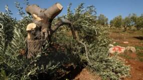 مستوطنون يقطعون 25 شجرة زيتون مُعمرة في نحالين غرب بيت لحم