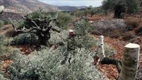 مستوطنون يقطعون 33 شجرة زيتون جنوب نابلس