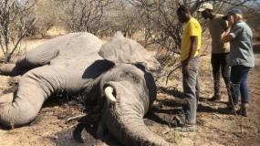 """ناميبيا تقتل عشرة أفيال """"خطيرة"""" لحماية المزارعين والمحاصيل"""