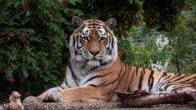أنثى نمر سيبيرية تقتل إخصائية رعاية الحيوان في حديقة حيوان زيورخ