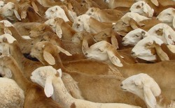 لضعف مناعتها.. السعودية تعيد للسودان 58 ألف رأس ماشية