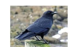 العلماء يثبتون قدرة الغربان على التفكير الواعي لأول مرة