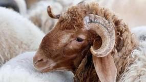بعد أنباء عن وجود حمى الوادي المتصدع.. السعودية تسحب رخص استيراد الماشية السودانية