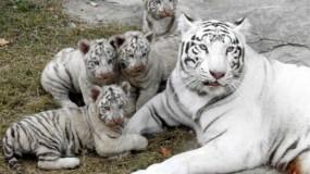 كورونا يفتك بشبلين للنمر الأبيض في حديقة باكستانية