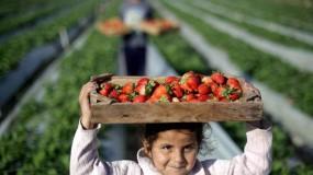 الزراعة الإسرائيلية تُوقف استيراد الفراولة من قطاع غزة