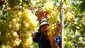 مزارعو العنب الفلسطينيون يشهدون انهيار السوق بسبب أزمة كورونا