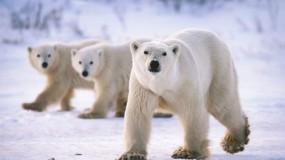 """روسيا: طوارئ بعد """"غزو"""" الدببة"""