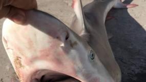 اصطياد 60 سمكة قرش من بحر قطاع غزة
